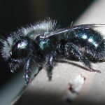 Mason Bee_female